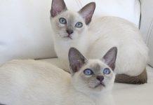 Tonkinés, alias Tonk, el gato más sociable del mundo.