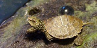 Turtugas ¿peligro de contagio al humano?