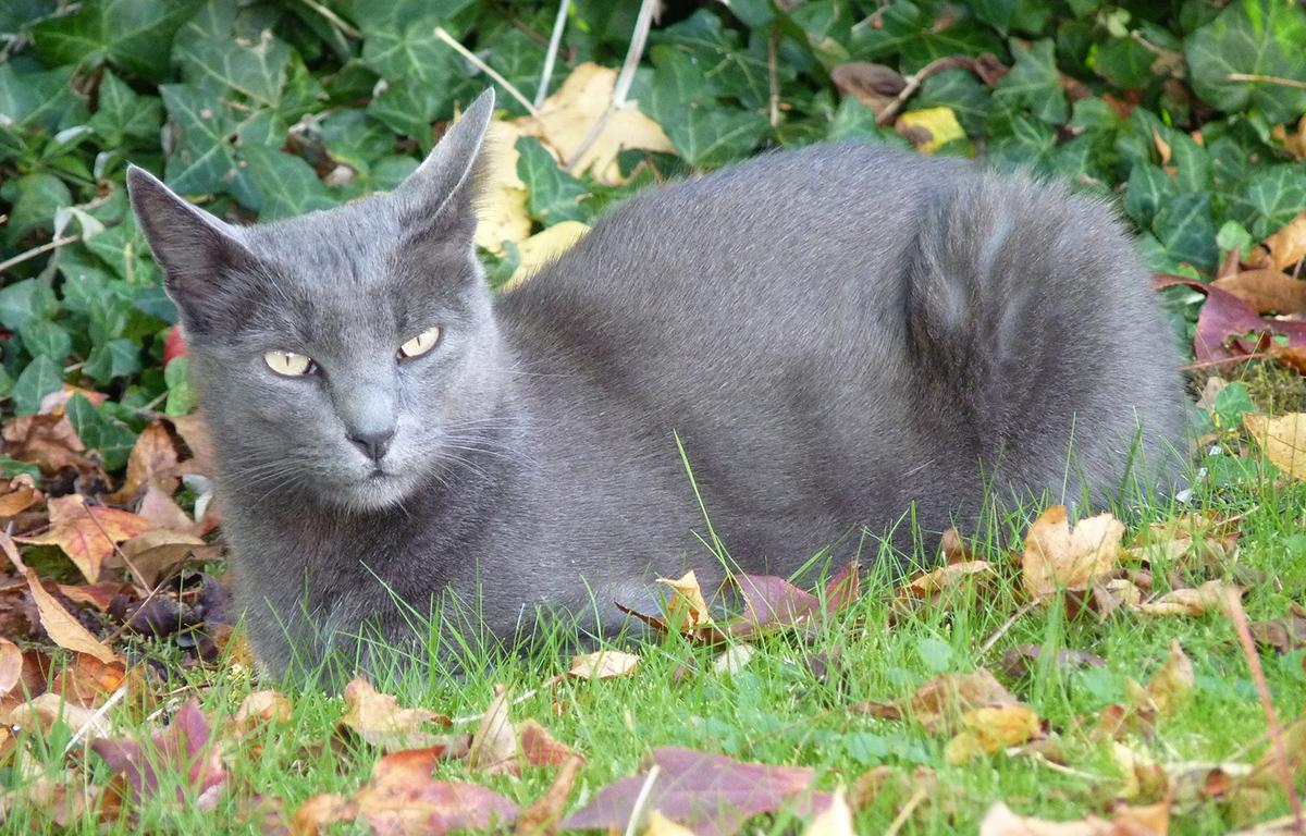 Korat, raza de gato