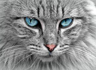 Raza Gato Siberiano