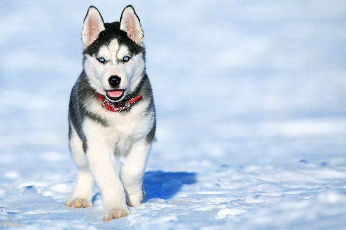 Husky Siberiano