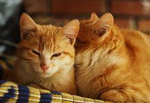 Los gatos se enamoran