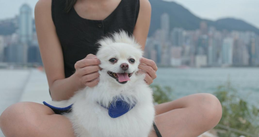 Cute Pomeranian dog with pet owner