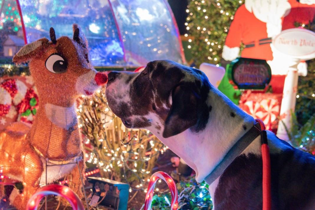 Dog sniffing a Christmas display reindeer at night