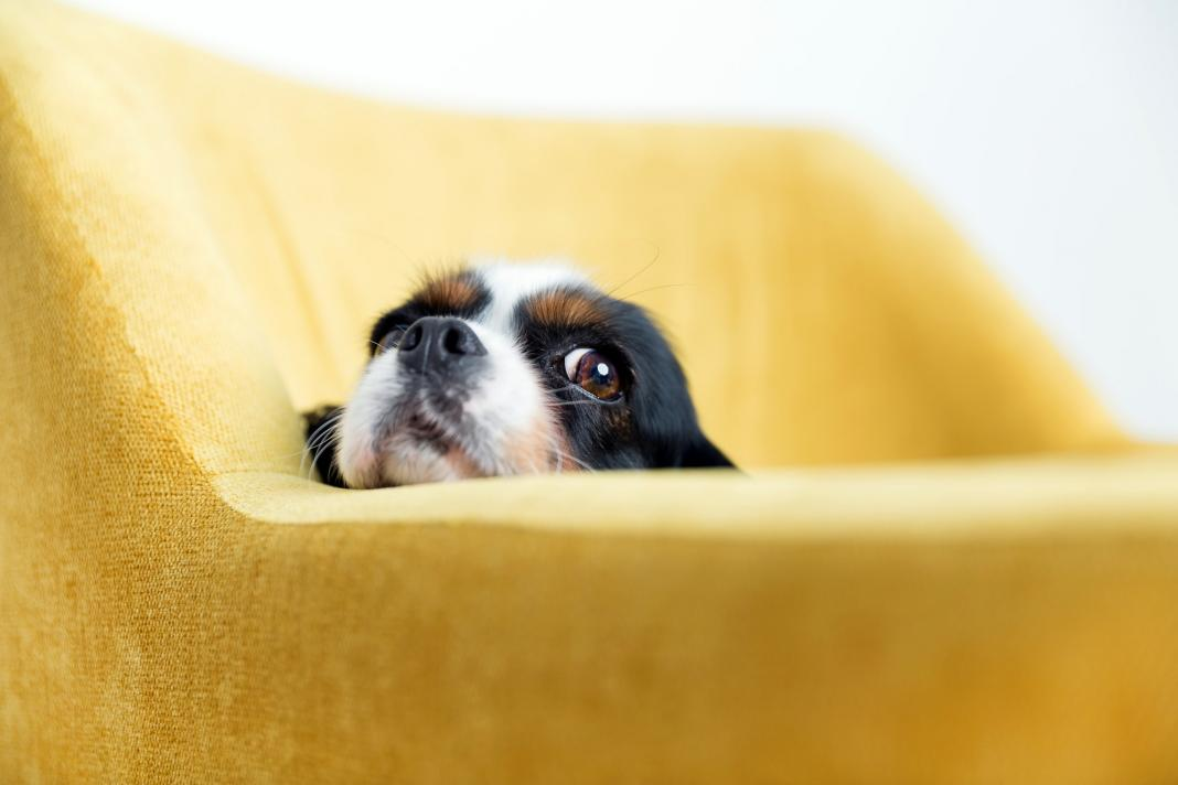 Portrait of funny dog at yellow sofa