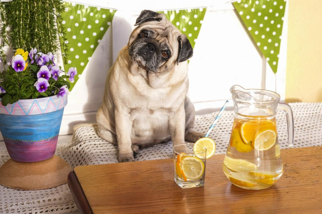 weight loss with diet concept. fat beautiful pretty pug dog