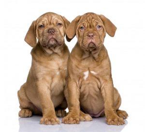 Dogo de Burdeos, entre las razas que no ladran