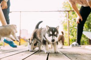 Cachorro nórdico