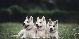 Elegir el mejor Husky