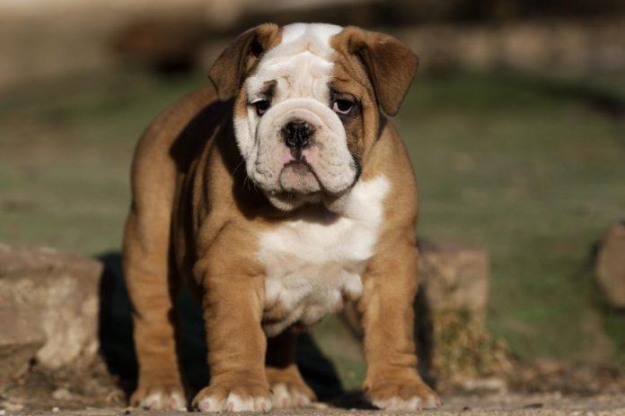 Bulldog inglés perro con acné