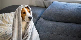 Perro tiene caspa