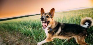 Perro instinto protector