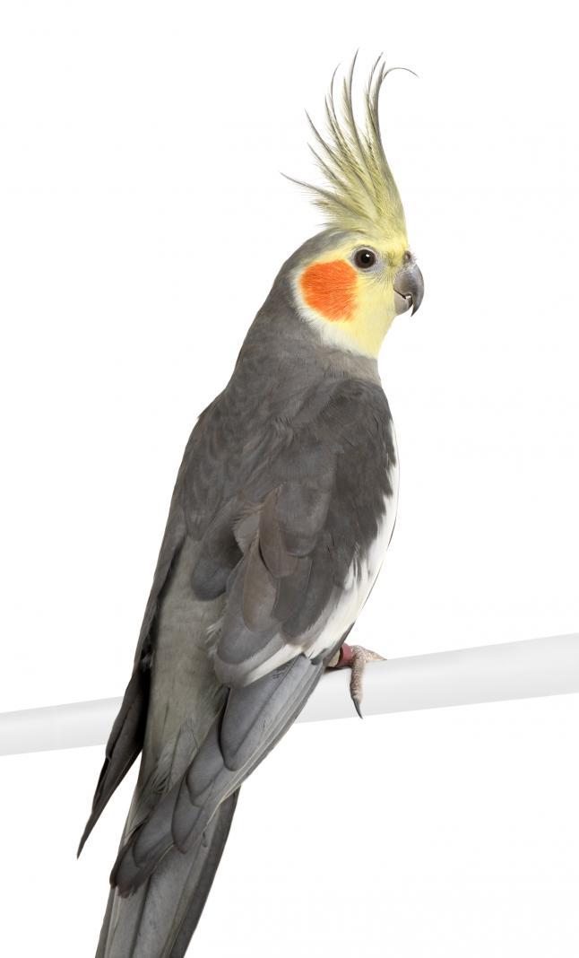 Una cacatúa que se arranca las plumas
