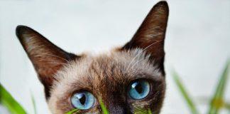 Por qué los gatos comen hierba